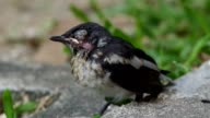 young injured oriental magpie-robin video