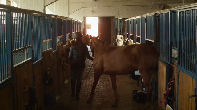 Young jockey girl is walking a horse out of a stable. video