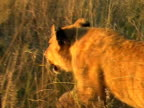 Young lion at sunset video