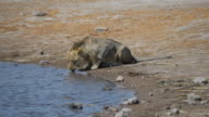 Young Lion drinking water from river in the Kruger National Park, South Africa. video