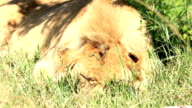 Young Lion sleeping video