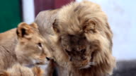 Young  lions yawning. video
