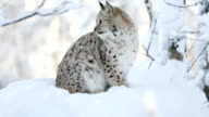 Young lynx cub in the cold winter forest video