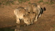 Young Male and Female Lions drinking from stream video
