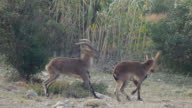Young male ibex fighting video