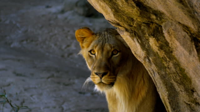 Young male lion emerges from behind rock and stares into camera video