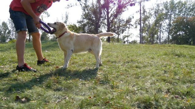 Young man and dog playing outdoor at nature. Labrador or golden retriever and his male owner spend time together at the green meadow. Pets running for stick or toy for animal. Close up video