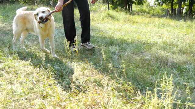 Young man and dog playing with wooden stick outdoor at nature. Labrador or golden retriever and his male owner spend time together at the green meadow. Guy and domestic animal. Close up video