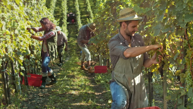 DS Young man hand harvesting grapes video