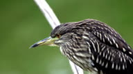 Young Night heron video