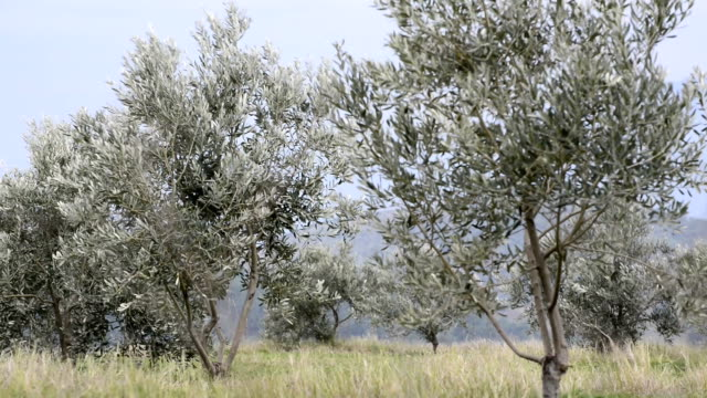 Young olive trees video