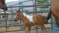 Young paint foal follows mare in paddock at horse ranch. video