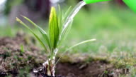 A young palm tree is watered from a watering can in daytime video