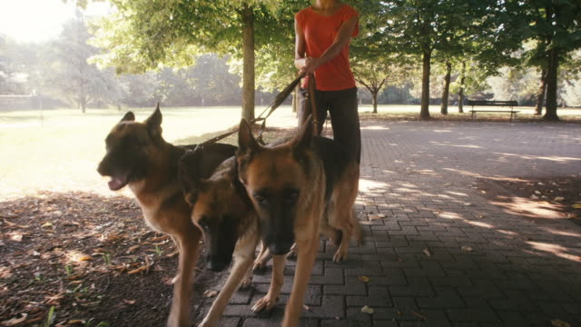 Young people, pet, dog sitter with alsatian dogs in park video