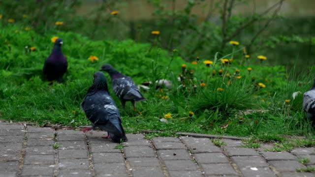 Young pigeon seduces female pigeon. Park zone. Close Up Shot video
