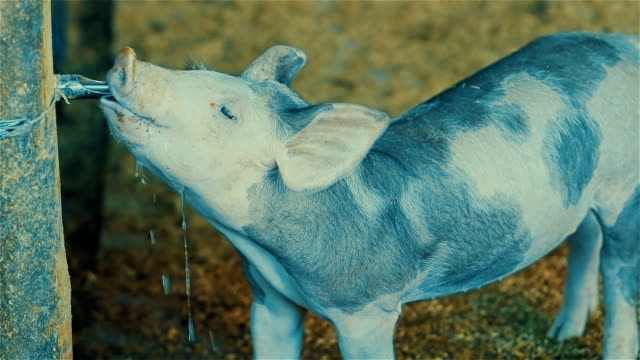 Young piglet drinking water video