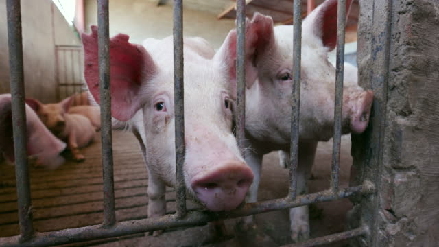 Young pigs looking through the bars of their enclosure on an industrial pig farm video