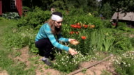 Young pregnant woman with shawl gather herb camomile plant bloom video