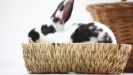 Young rabbit in a basket against white background video