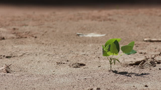 young seedling of tree in the sand with strong wind video