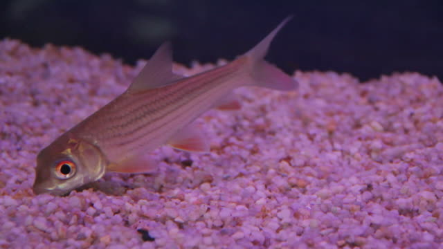 Young siamese giant carp video