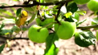 Young small green apple close up HD stock footage. video