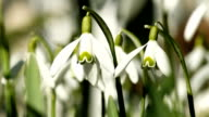 Young Snowdrops Swaying in the Wind video