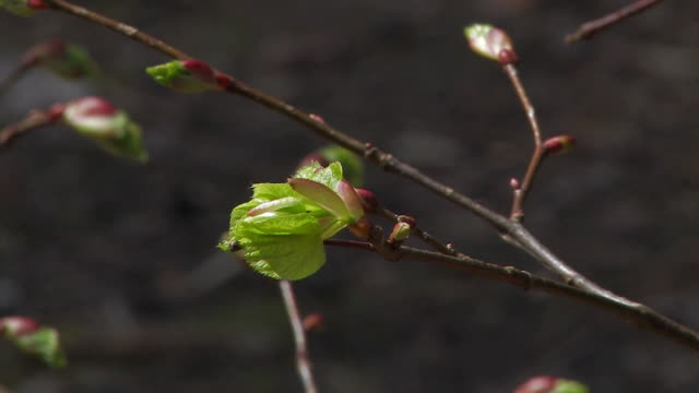 young spring leaves in forest video