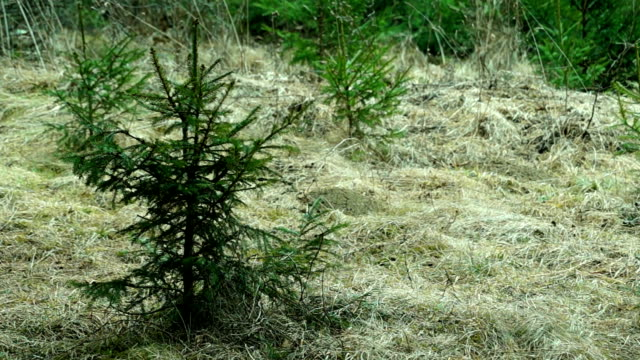 Young Spruce Swaying in the Wind video