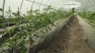Young Tomato Plants in a Greenhouse video