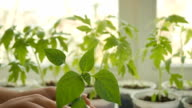 Young tomato sprout  plant in pot video