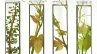 young vine shoots in test tubes video