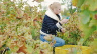 Young woman gathers the grape harvest. Vineyard white grapes video