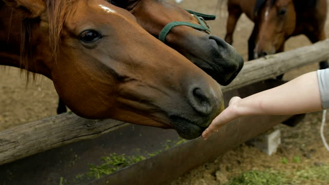 Young woman girl feeding and taking care of brown horse. Female with animal outdoor video