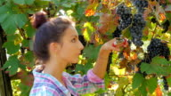 young woman harvesting grapes video