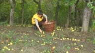 Young woman picking fallen apples in the orchard. video