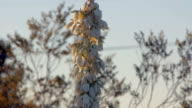 Yucca Flowers in the Desert at Sunset video
