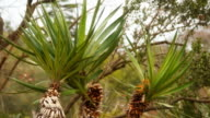 Yucca is a genus of perennial shrubs and trees in the family Asparagaceae video