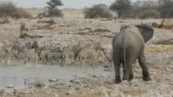 zebra and elephant video