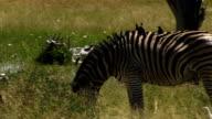 Zebra and Oxpeckers graze video