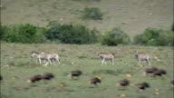 Zebra And Wildebeest In Shamwari Reserve  - Aerial View - Eastern Cape,  Cacadu District Municipality,  Makana,  South Africa video