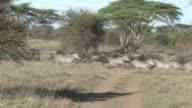 Zebra and Wildebeest Stampede in Africa video