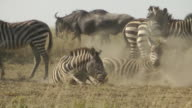 Zebra and Wildebeest video