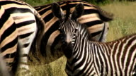 Zebra baby and family video