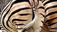Zebra dancing, Rear view video