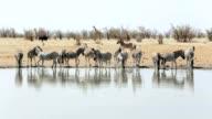 Zebra drinking on waterhole video
