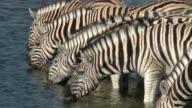 Zebra drinking video