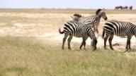 Zebra Flirting for mating video