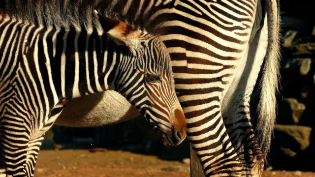 Zebra Foal By Its Mother video