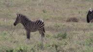 Zebra foal in the serengeti video